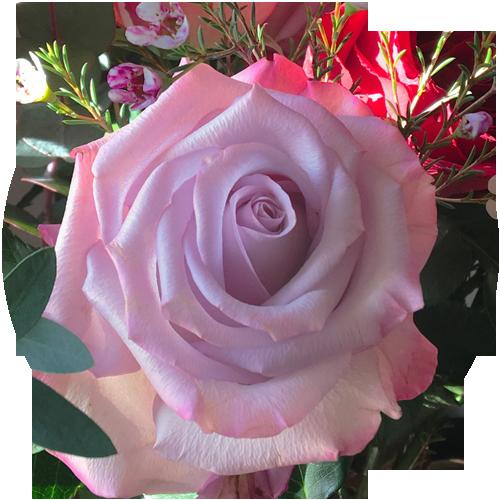 Lovely Lilac Rose
