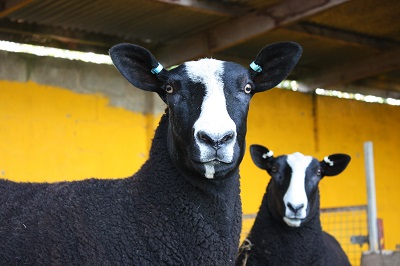 hedgefield zwartbles close-up_400.jpg