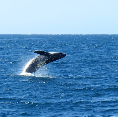 Whales are mammals and were once land creatures that returned to the sea evolving ears adapted to the water. Underwater sound to human ears is garbled, but whales hear clearly and use their ears to navigate the sea, find food, and communicate with each other. human ears are external while whale ears are internal, with no external opening!