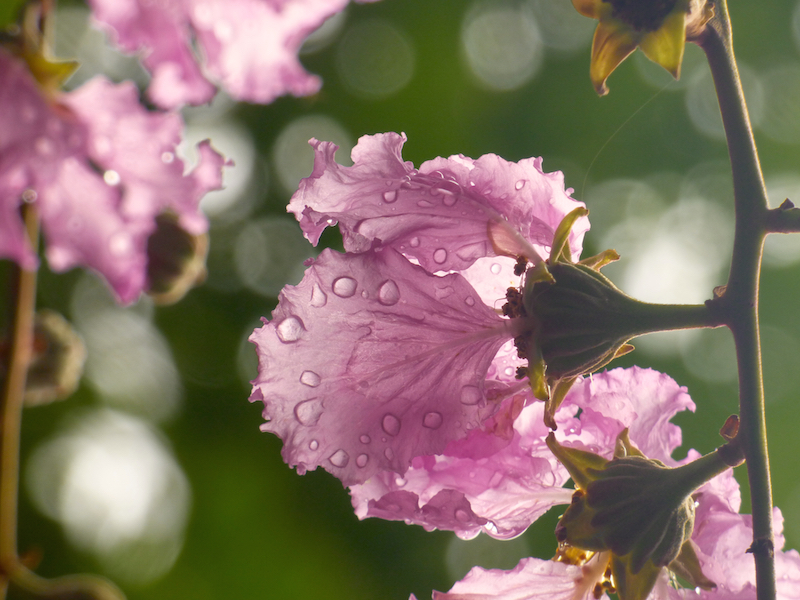 morning dew on flower blossoms--To me, it is a perfect example of the preciousness of experience