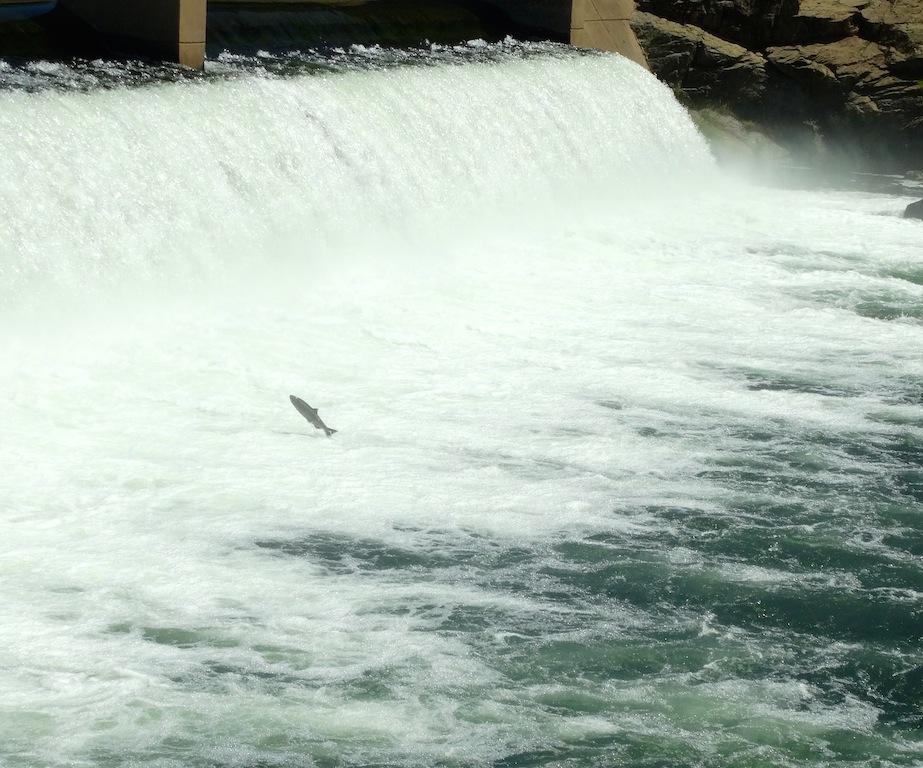 Salmon leaping copy.jpg