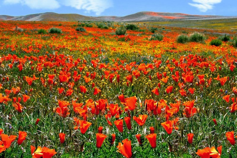 Eschscholzia_California_Poppy-Jill_O.jpg