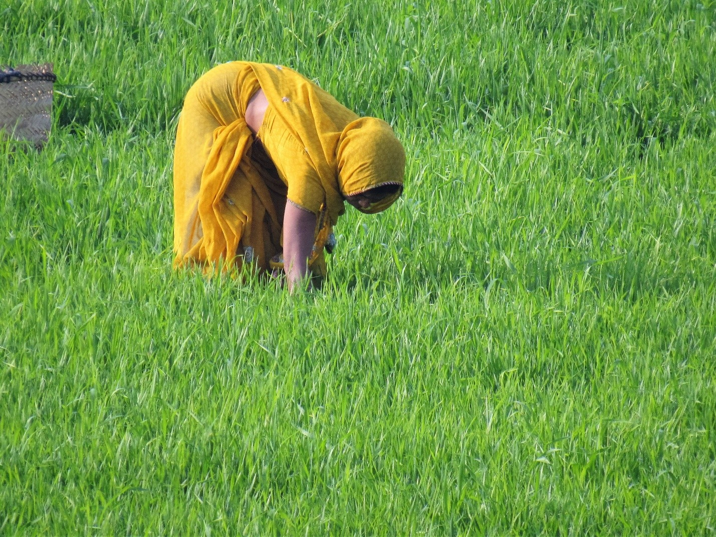 The beauty of the scene belies the backbreaking labor under the unrelenting sun required to harvest rice.