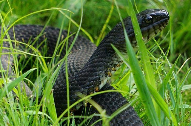 #snake in the grass #closeup #awalkaroundthelake #columbiareservation #clevelandmetroparks #cle #sonya6000 #sonya6000club #nerodiasipedon #blackwatersnake #watersnake