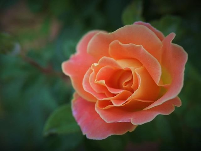 #fruitypetals still #blooming #backyard #roses #climbingroses #sonya6000 #sonya6000club #sonya6000 #closeup