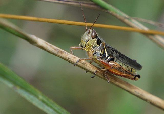 #westcreekreservation #clevelandmetroparks #grasshopper #dragonfly #sonya6000 #sonya6000club #sonya6000camera #mirrorlesscamera