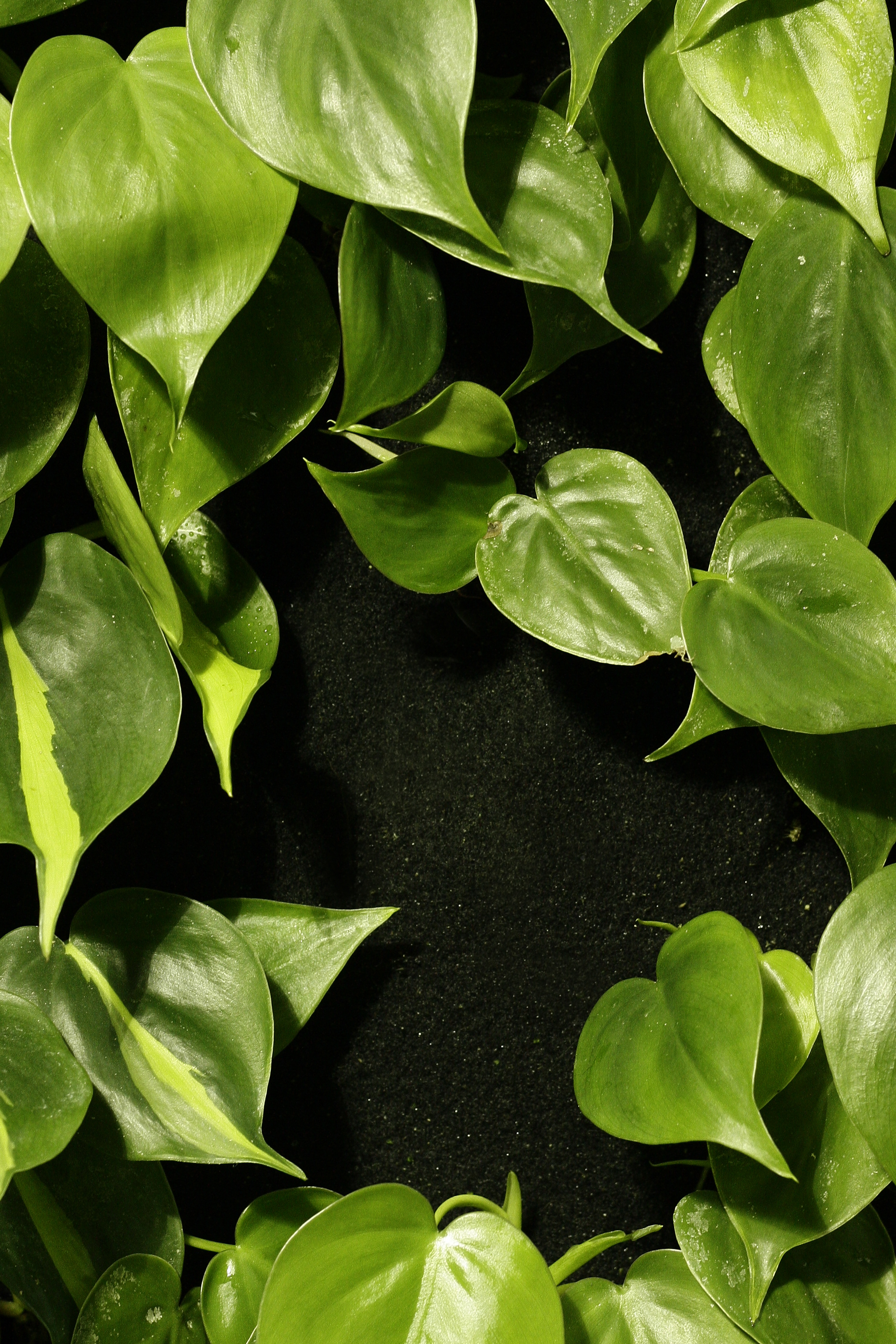 Philodendron hederaceum and P. 'Brazil',growing as nature intended.Image © In Situ Plants .