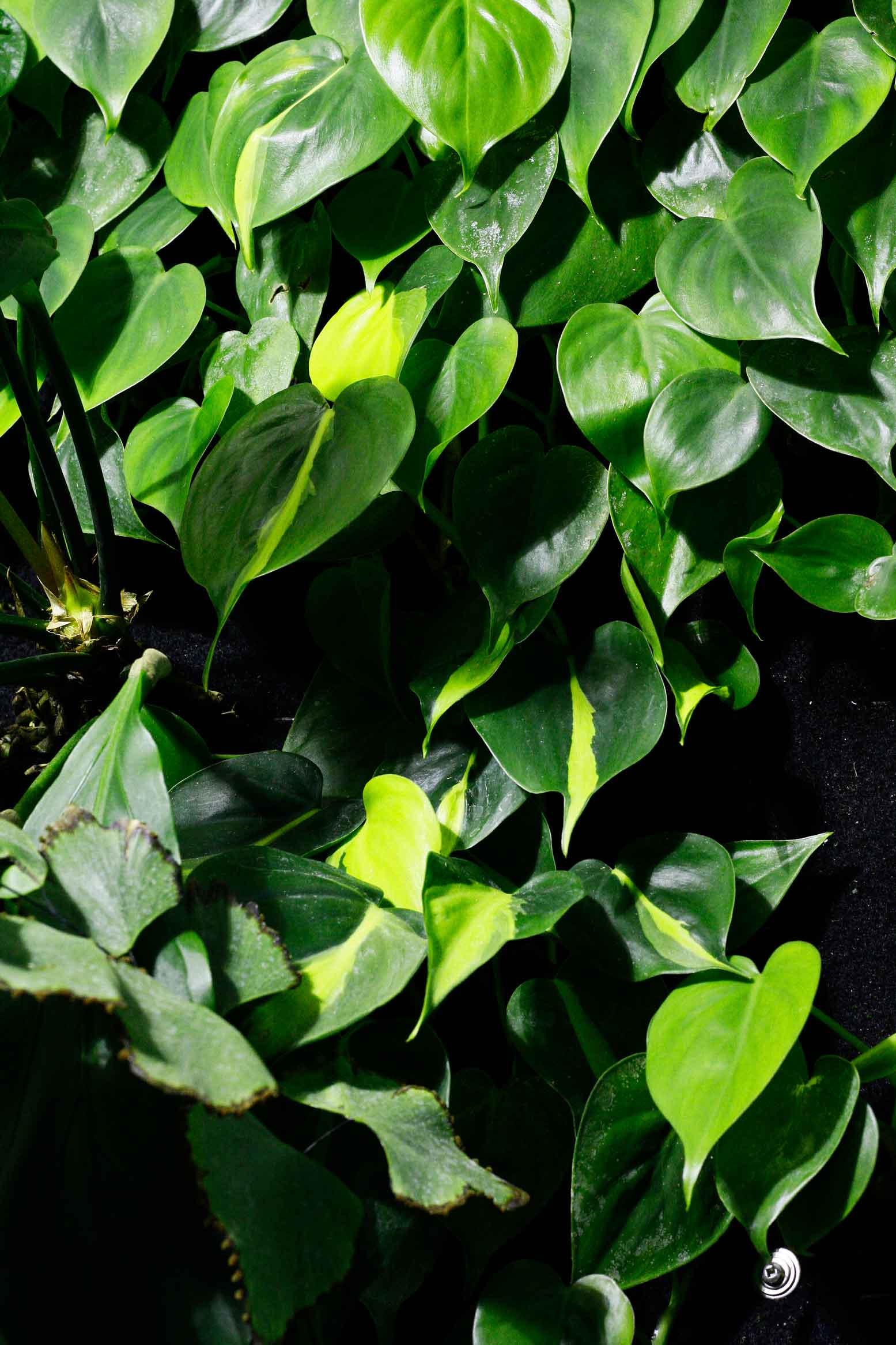 Philodendron hederaceum and Philodendron 'Brazil',a variety of the species, growing together in avertical garden. Image © In Situ Plants .