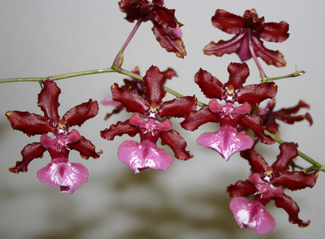 Oncidium 'Sharry Baby', one of the more uncommon orchidsin commercial production, but still yet to achieve thepopularity of Phalaenopsis despite its ease of culture andfragrant flowers. Image retrieved from the Association Auboise d'Orchidophilie Exotique website