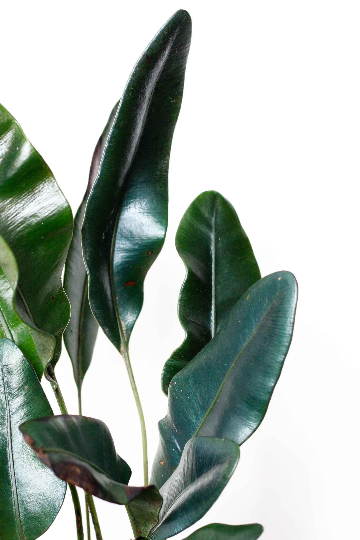 Elaphoglossum metallicum, another iridescent plant.Image© In Situ Plants