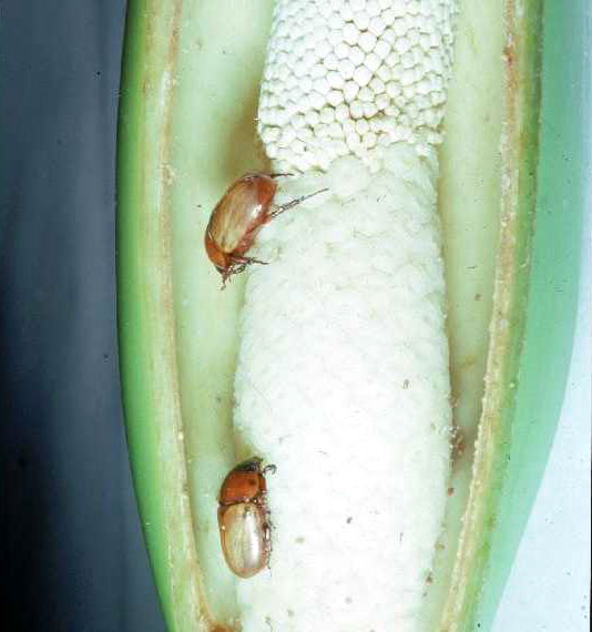 Cyclosephala colasi on a Philodendron inflorescence. Photo © Marc Gibernau/Denis Barabé; retrieved from the  International Aroid Sciety website .