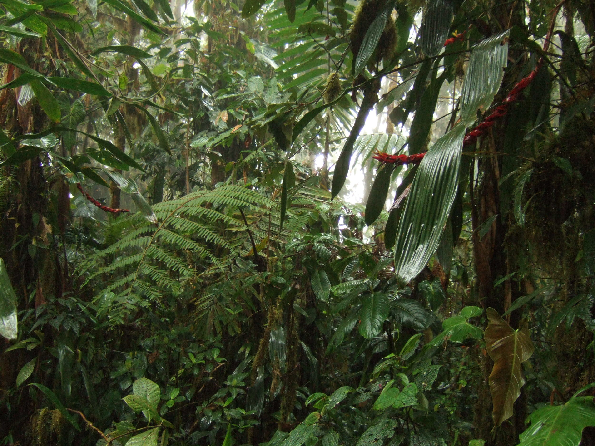 A photo of a sopping wet rainforest which I've put here instead of a boring stock image of someone watering a houseplant.  Bosque Protector Los Cedros , Ecuador. Image ©  In Situ Plants .