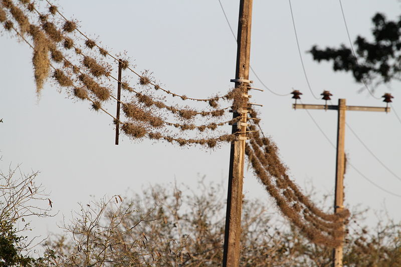 Tillandsia recurvata growing on power lines, Tamaulipas, Mexico.Image© 0+000 ; retrieved from Wikimedia Commons