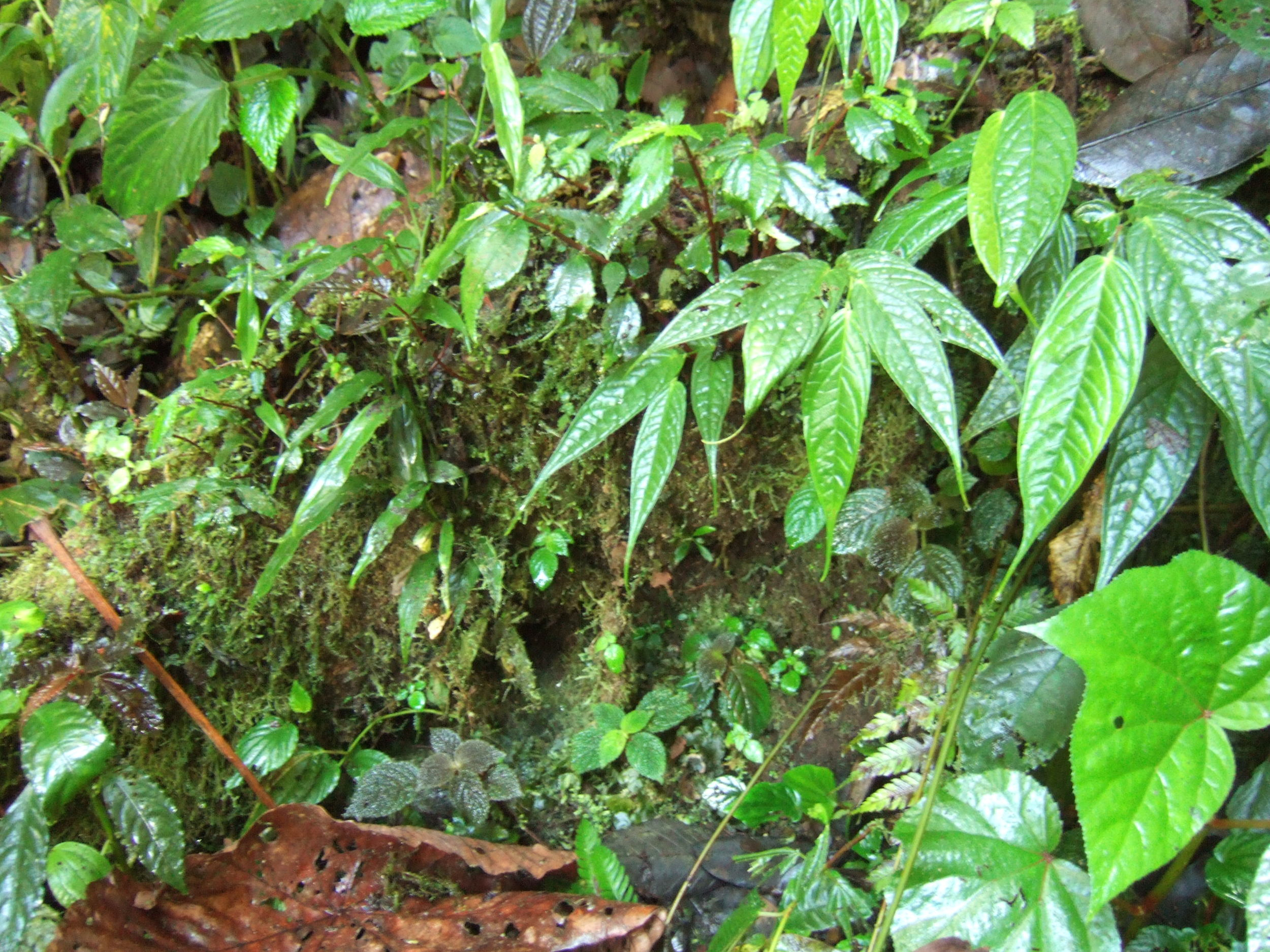 The tropical understory; a wealth of interesting species often better suited to the confines of the humid terrarium than the oft-toted succulents. Image  ©   In Situ Plants .