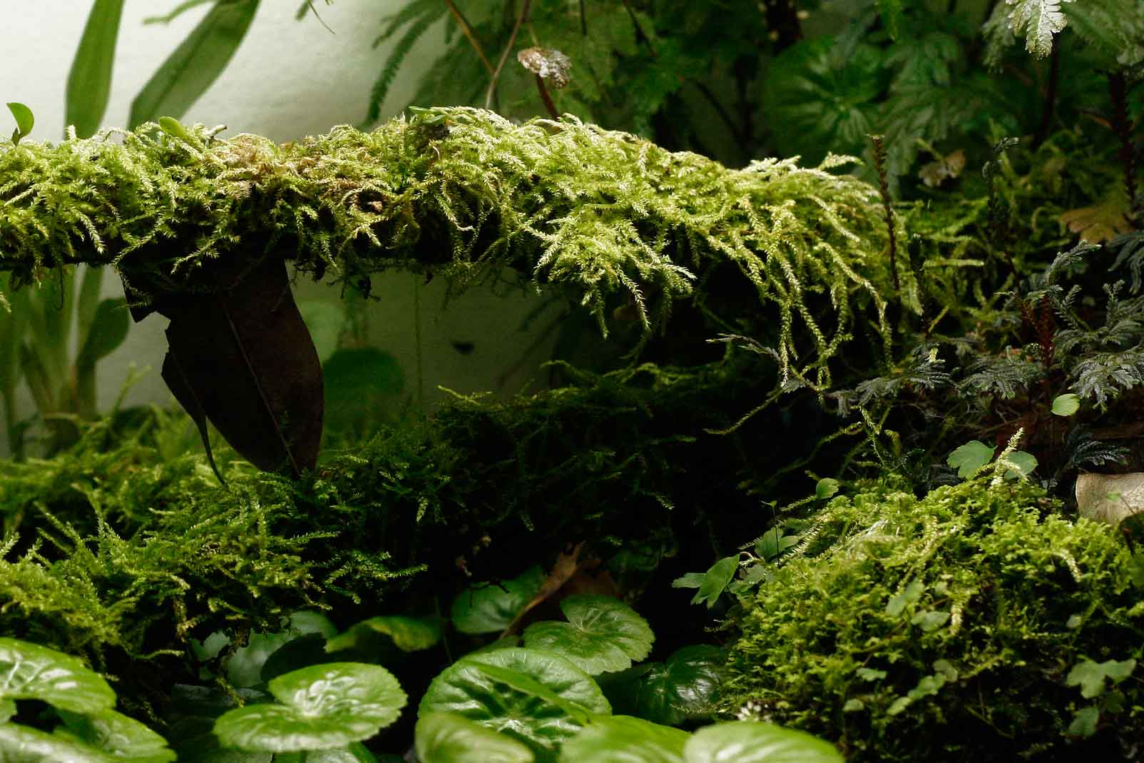 Mosses, to me, are some of the most lush and beautiful plants one can grow, and they do best in a humid terrarium. Image  ©     In Situ Plants  .