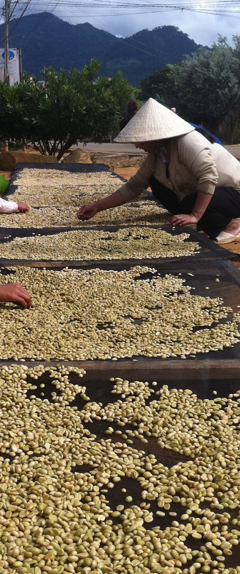 Drying coffee under the sun.