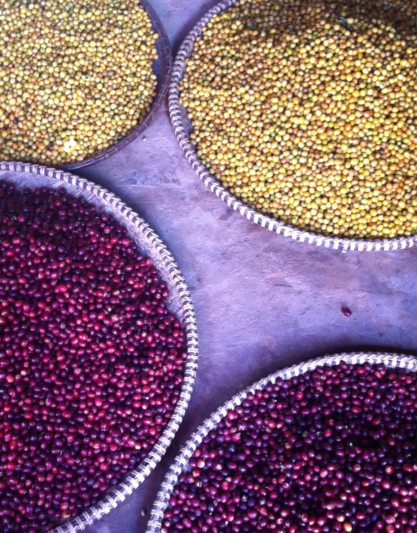 Some of the Arabica varieties we grow; Typica  and  Yellow Bourbon .