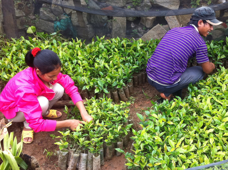 Preparing seedlings for transplantation.