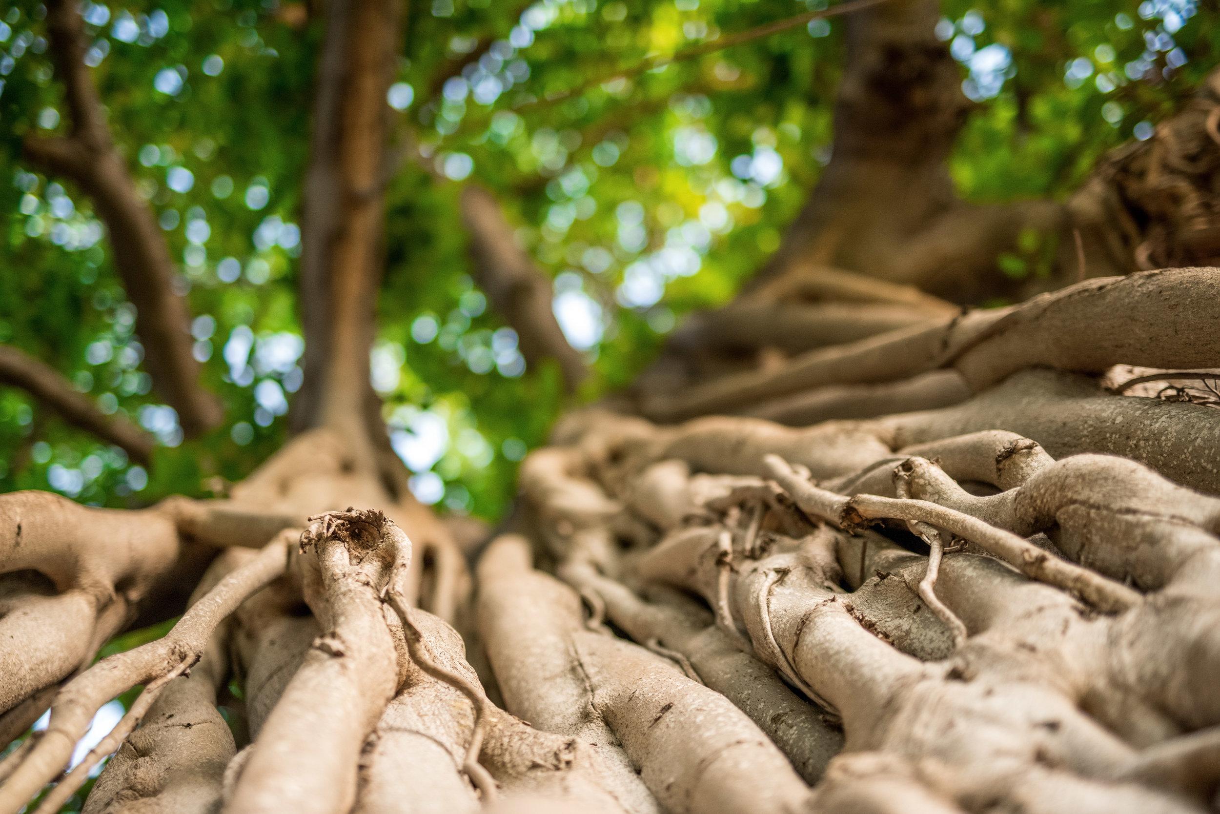 Banyan Tree, Ford Island, Oahu 2015