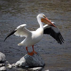 pelican-916327_1920.jpg