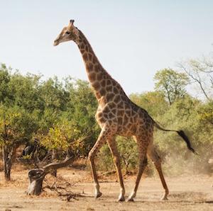 giraffe-2800380_1920.jpg