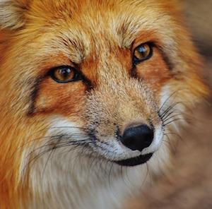 fox-alexas-fotos-pixabay.jpg