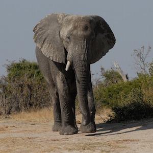 elephant-hbieser-pixabay.jpg