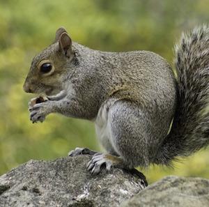 grey-squirrel-tpa-pixabay.jpg