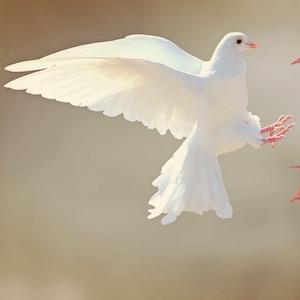 white-dove2-cocoparisienne-pixabay.jpg