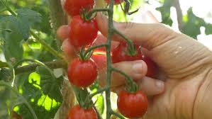 picking tomatoes.jpg