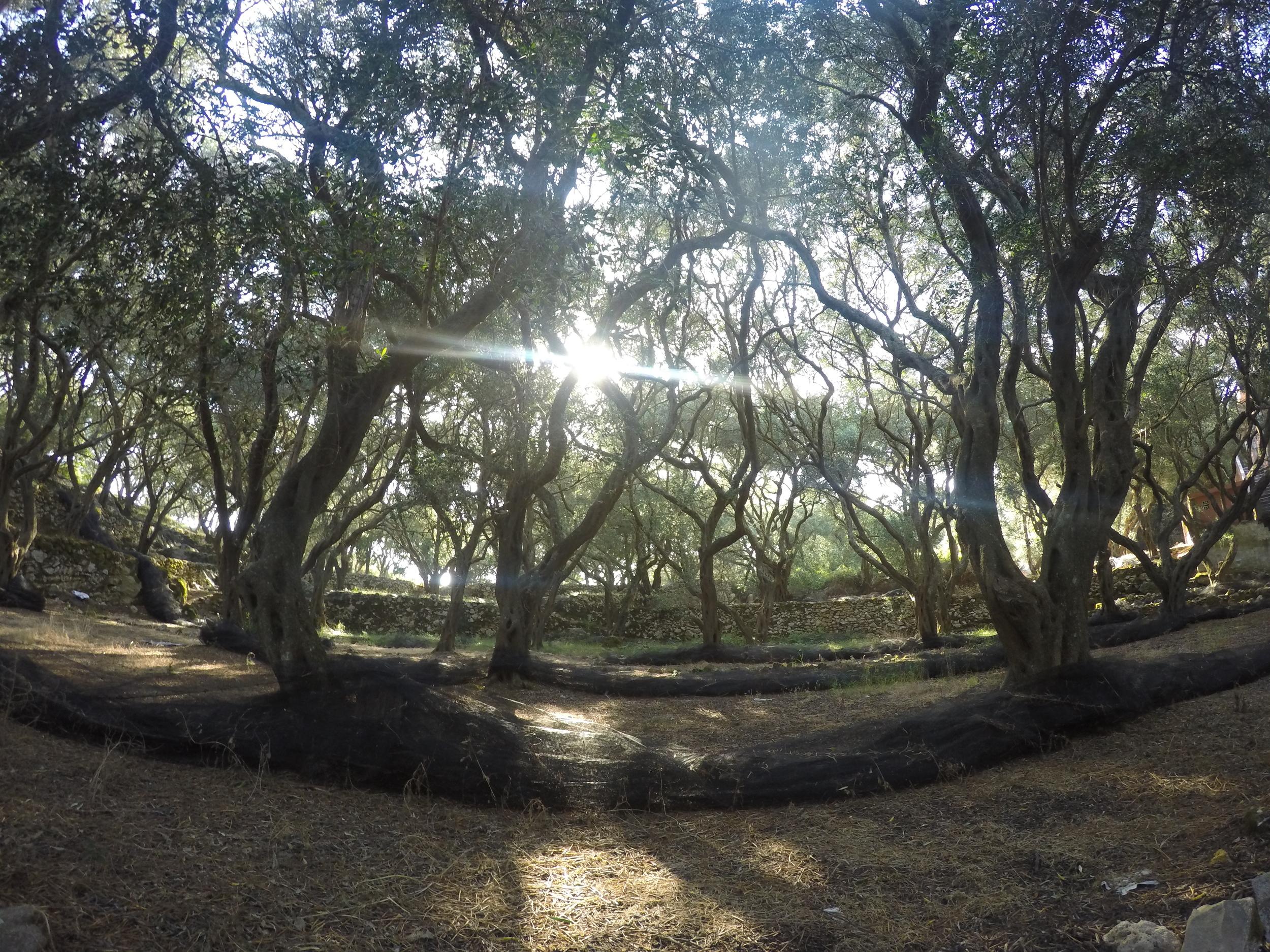 Secret olive tree grove on the way to Krini