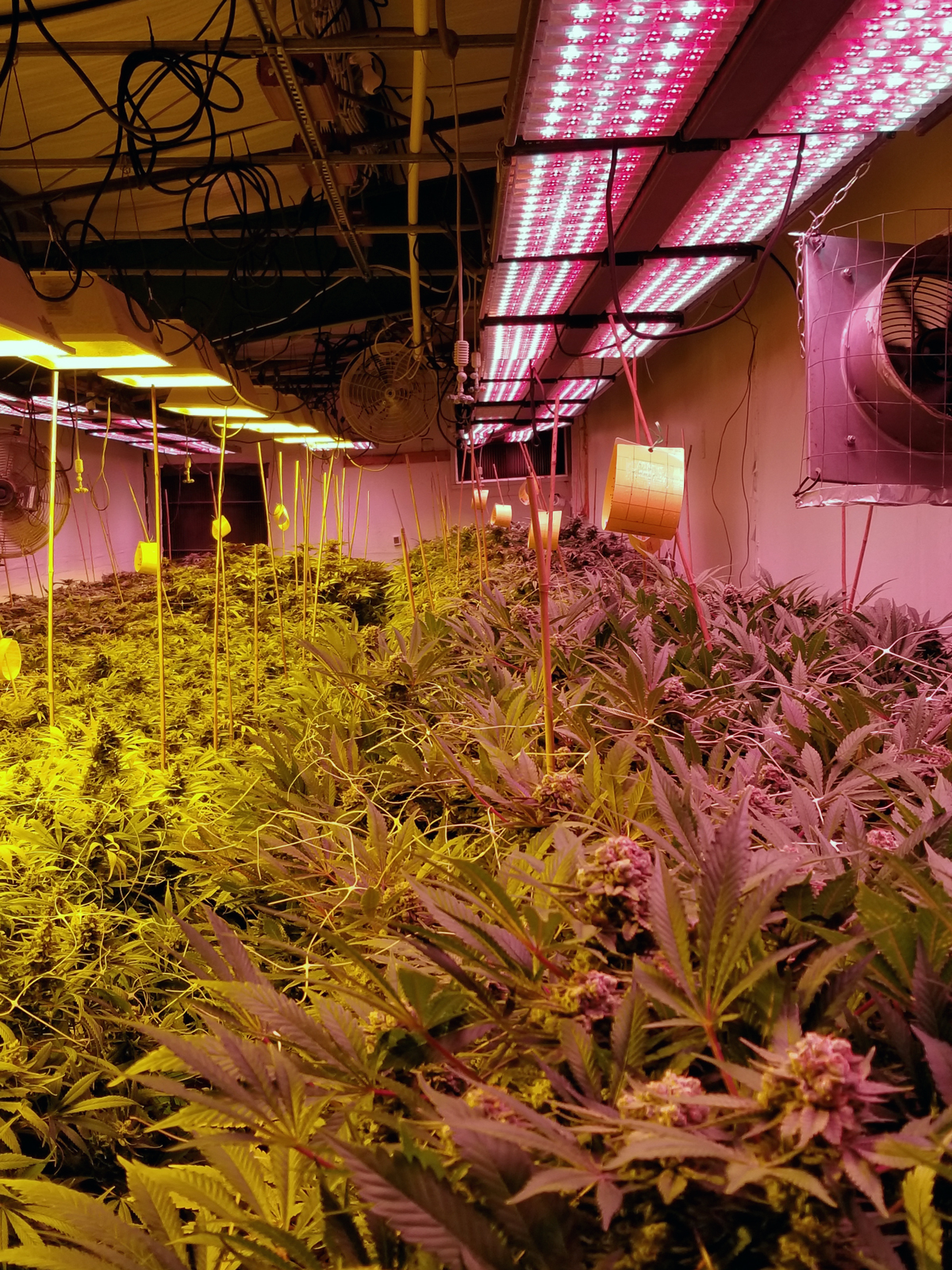 Raven Grass's grow rooms are a sight to behold. Micah and team take pride in their process.