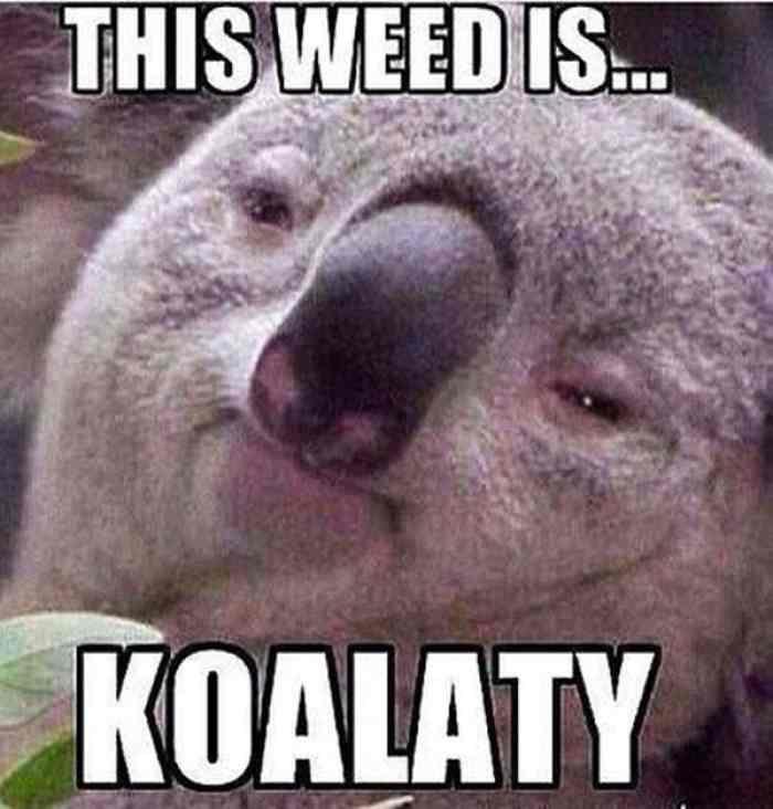 Koala Konnoisseur - He's the authority on Koalaty ganja.via imgflip.com