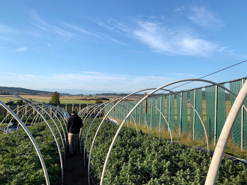 The Novel Tree's Purchasing Manager Aaron walks through fragrant fields of cannabis at Green Island Growers. Seeing firsthand the origin of the flower we receive is very rewarding, especially on such a beautiful day.