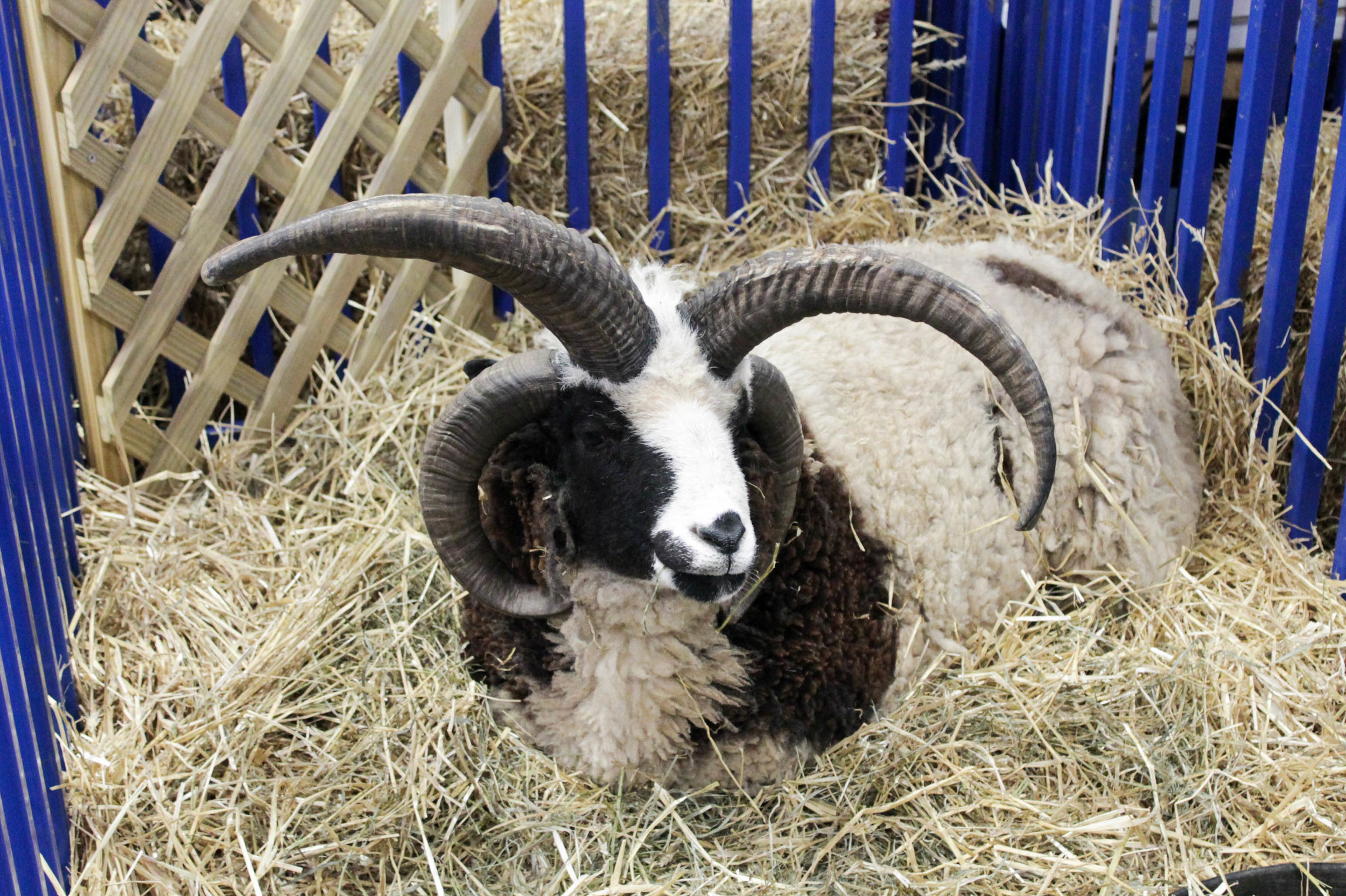 Click here for more photos from the Maryland Sheep and Wool Festival.