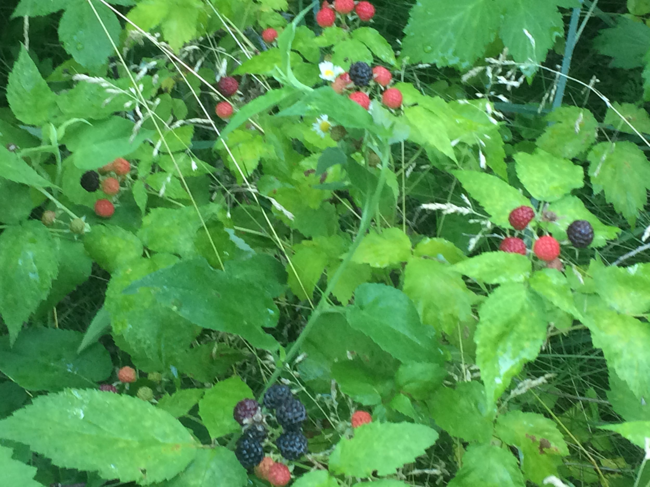 At the top of this bramble, there is one ripe berry in a pink cluster.  At the bottom, a cluster of much more ripened berries.