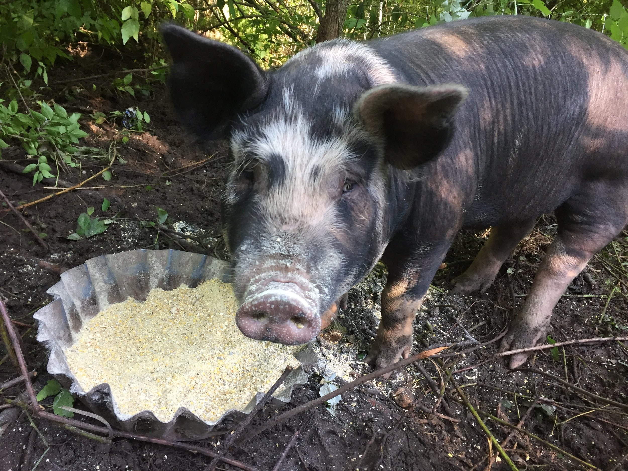 The picture is of a Berkshire hog in the woods, snout toward the camera, having been lifted from the pan of organic feed.  It is unutterably adorable.