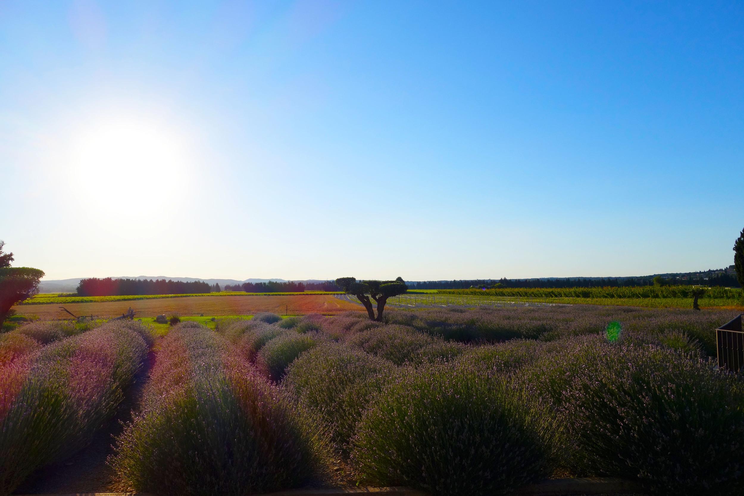 entre vigne et garrigue lavender