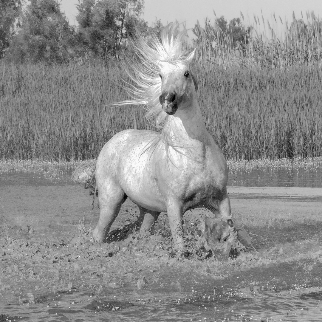 21horses_Day#8_TheCamargue_20180519_1615bw.jpg