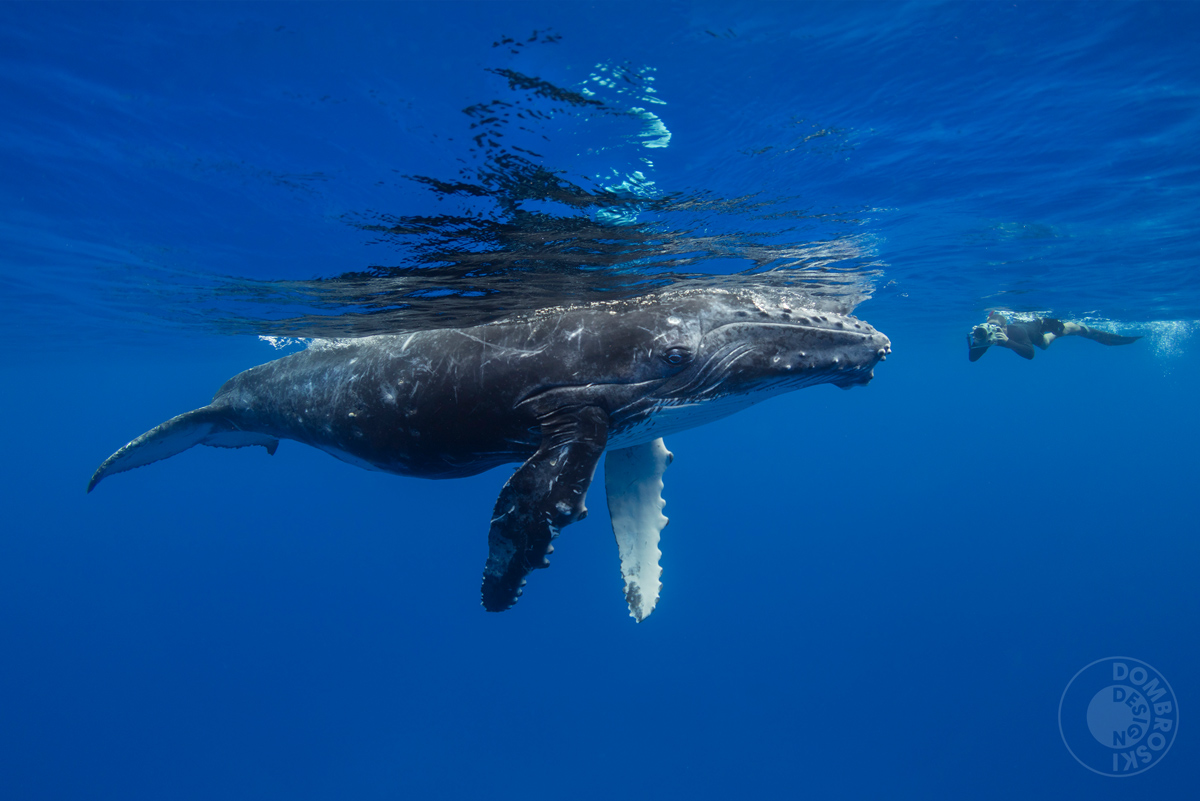 A curious baby humpback approaches (and dwarfs) one of the photographers who participated in the workshop.