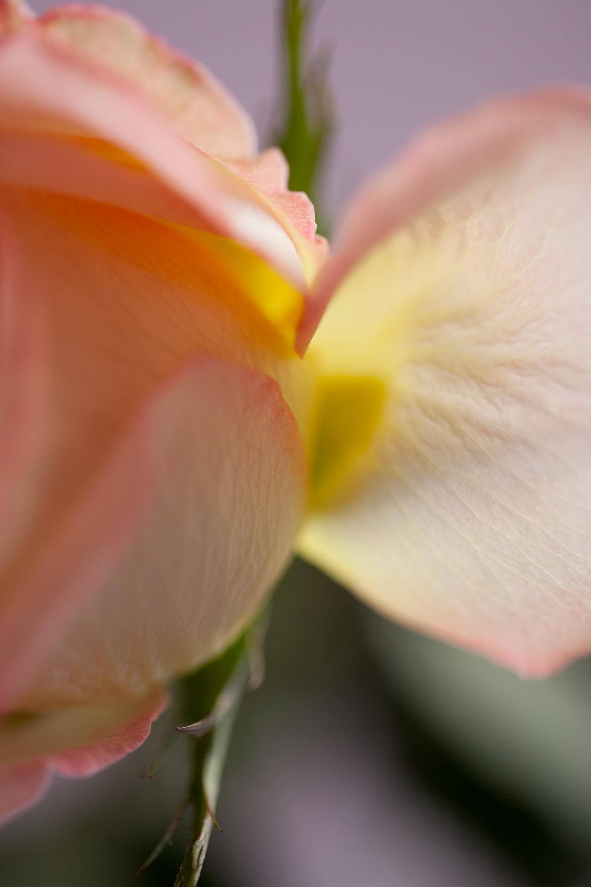Flower Studies, Roses