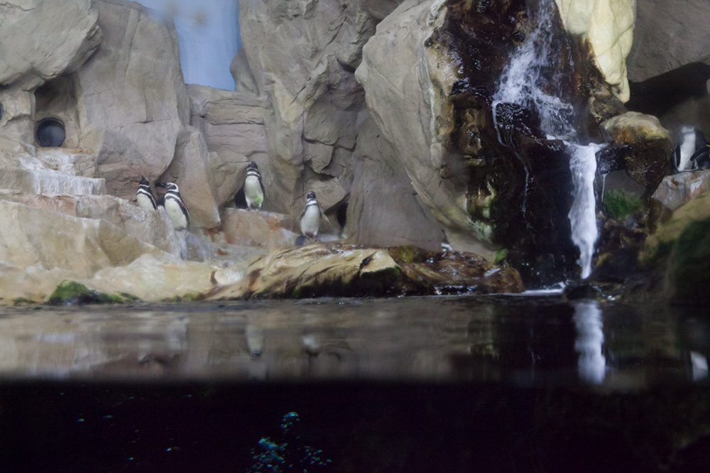Penguins, Acquario di Genova, ©alketamisja photography, August 2016