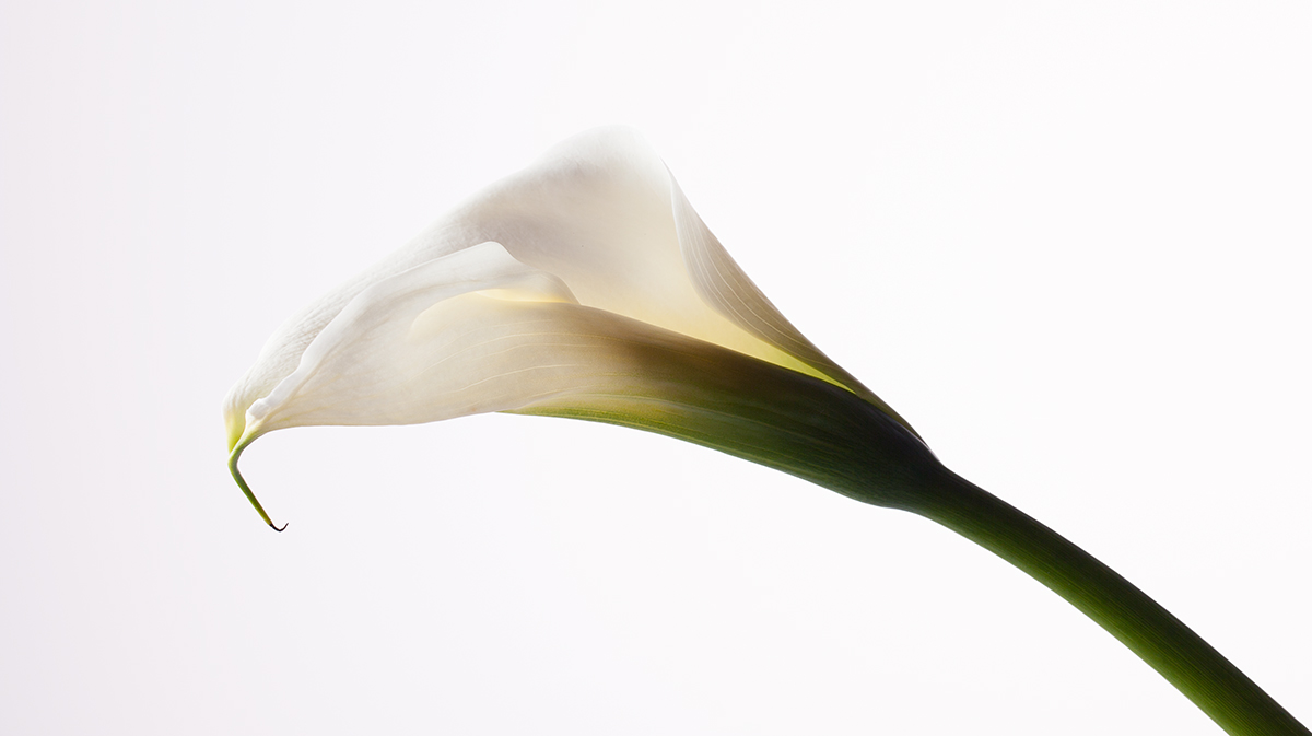 """Calla Lily in Studio"""