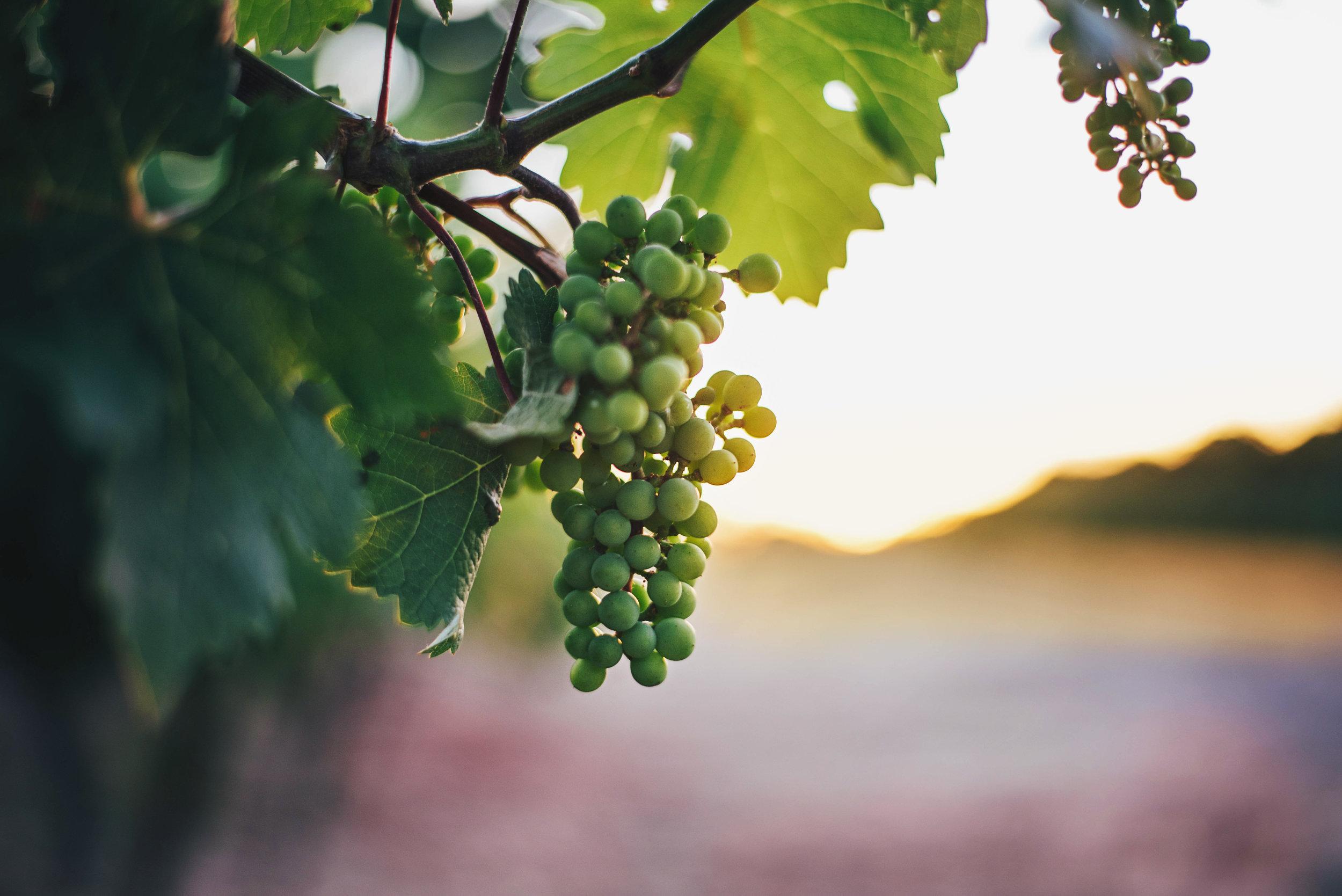 Grapes in vineyard Essex UK Documentary Photographer