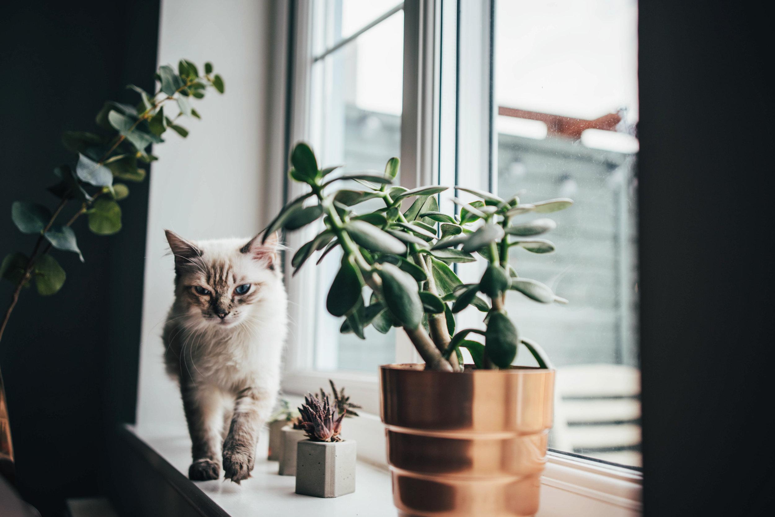 Ragdoll Kitten on windowsill Essex UK Documentary Portrait Photographer