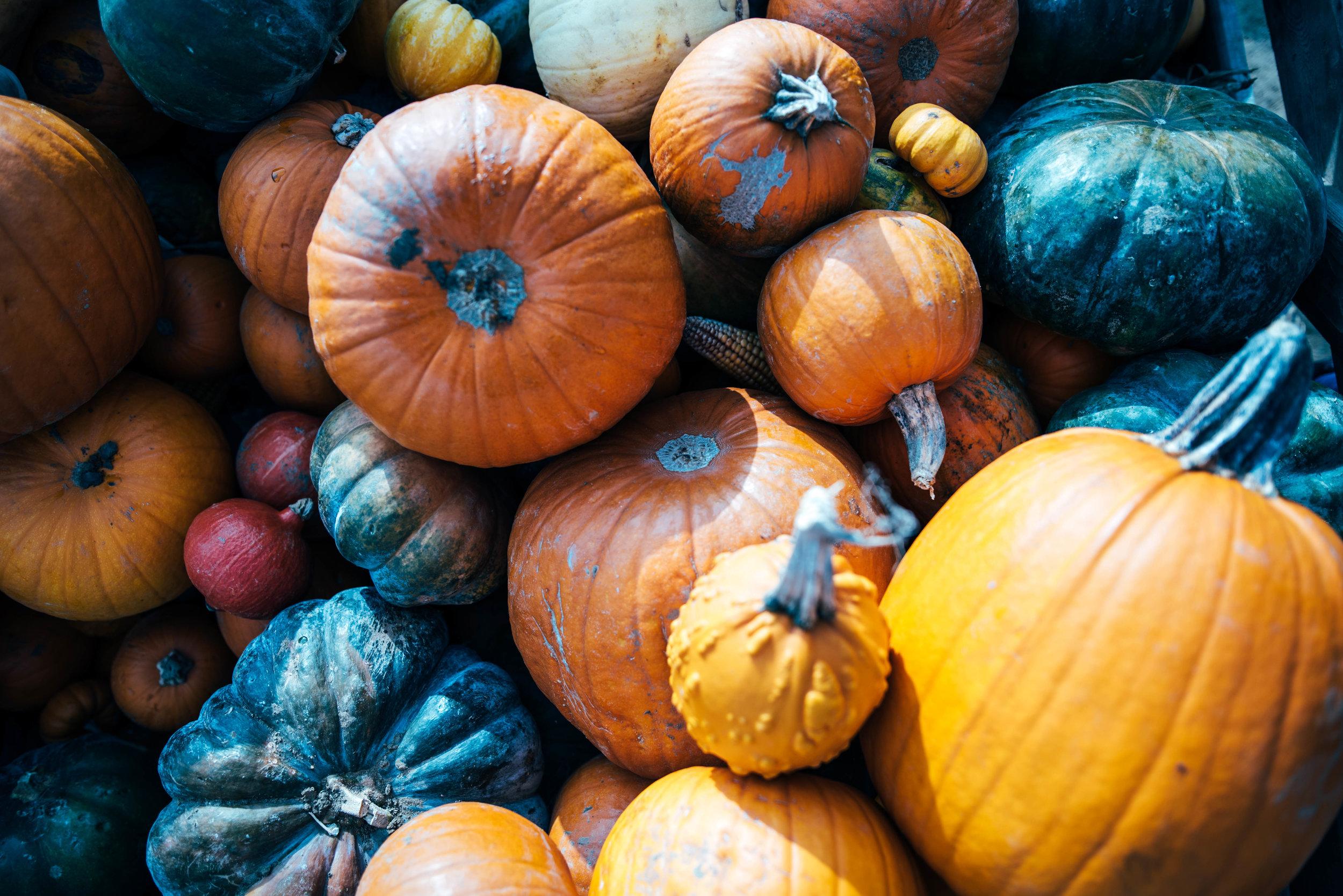 Multi-coloured Pumpkins Farm Colchester Essex UK Documentary Portrait Photographer