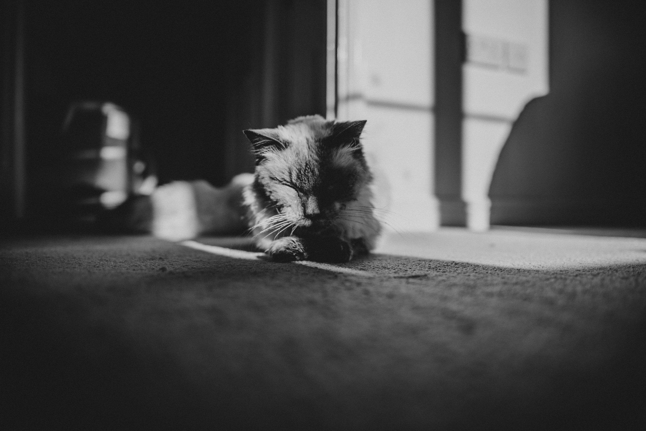 Ragdoll cat basks in sunbeam Essex UK Documentary Portrait Photographer