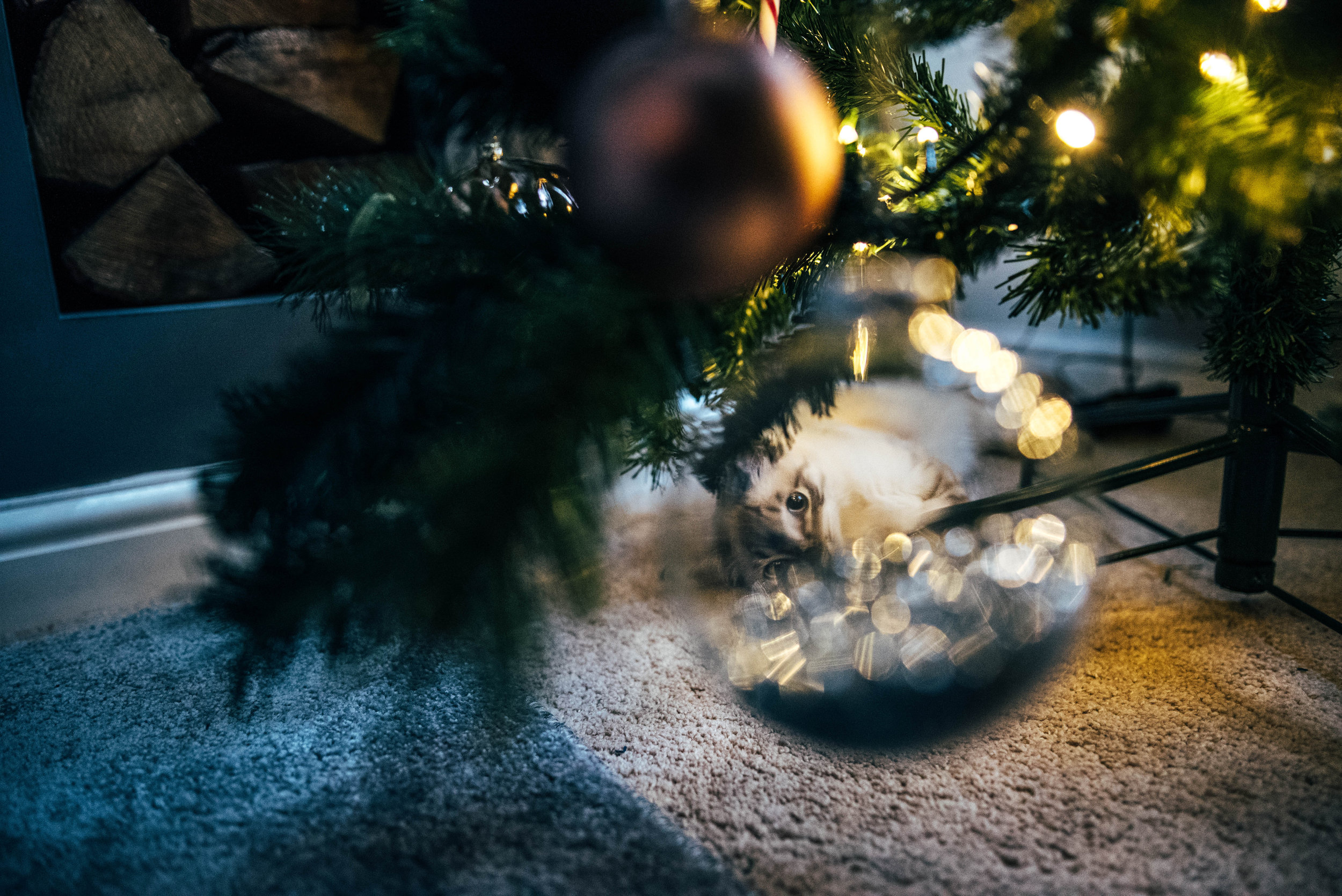 Ragdoll kitten in a Christmas Bauble Essex UK Documentary Photographer