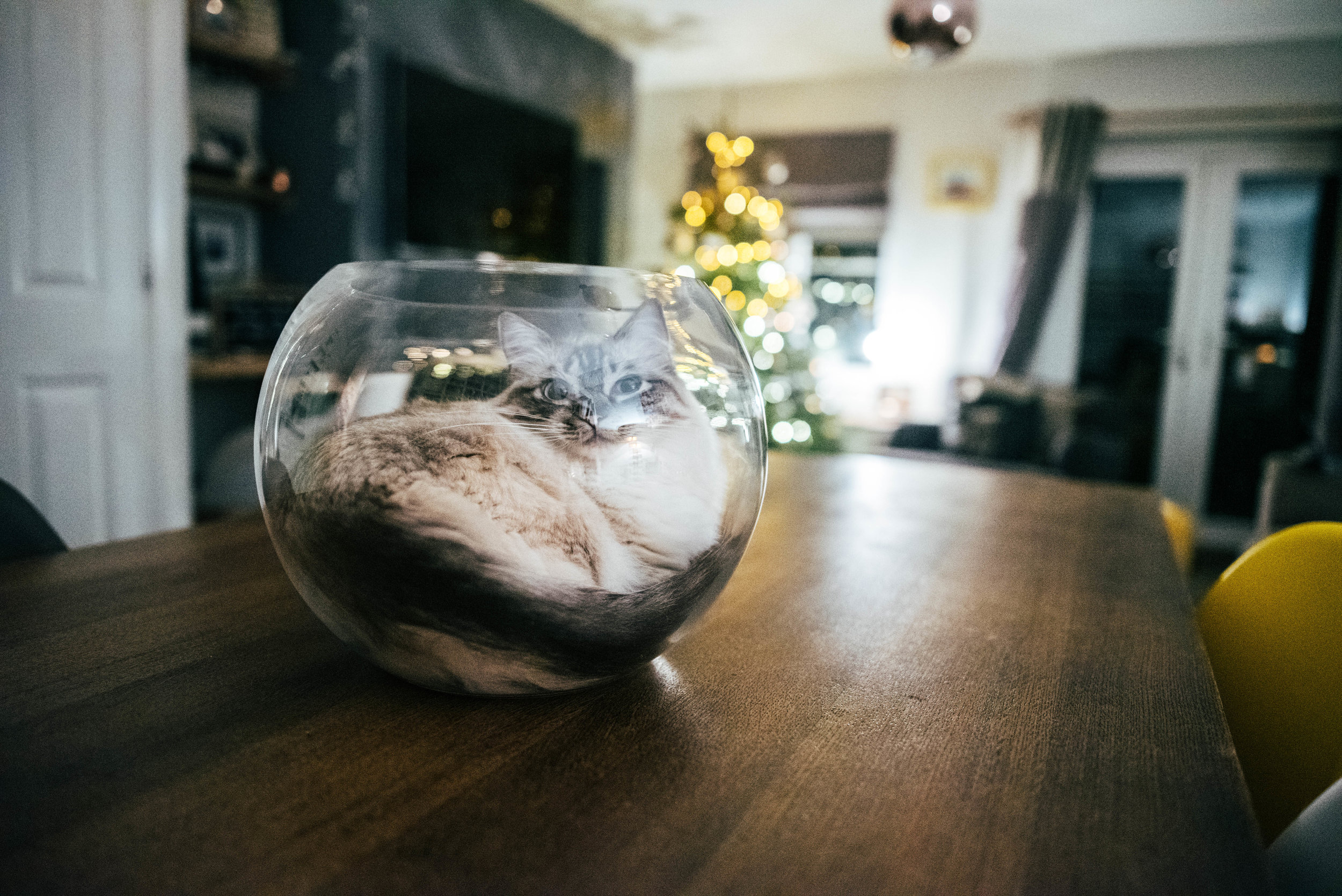 Ragdoll cat sits in round glass vase by Christmas tree Essex Documentary Family Wedding Photographer