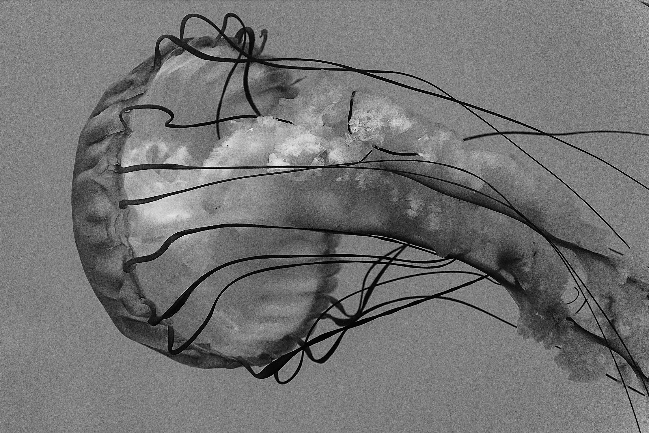 Pacific sea nettle's bell